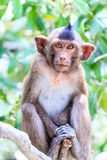 Monkey (crab-eating macaque) Asia Thailand Stock Images