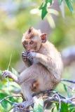 Monkey (crab-eating macaque) Asia Thailand Stock Photos
