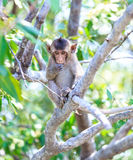 Monkey (crab-eating macaque) Asia Thailand Stock Photography