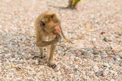 Monkey. Crab-eating macaque. Asia Thailand. Seats on the shore of the monkey island Stock Image