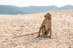 Monkey. Crab-eating macaque. Asia Thailand. Seats on the shore of the monkey island Royalty Free Stock Image