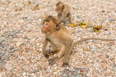 Monkey. Crab-eating macaque. Asia Thailand. Seats on the shore of the monkey island Royalty Free Stock Photo