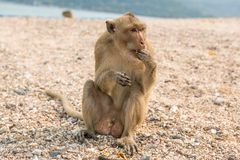 Monkey. Crab-eating macaque. Asia Thailand. Seats on the shore of the monkey island Stock Photography