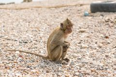 Monkey. Crab-eating macaque. Asia Thailand. Seats on the shore of the monkey island Royalty Free Stock Images
