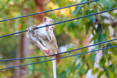 Monkey (Crab-eating macaque) on cable Stock Image