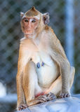 Monkey (Crab-eating macaque) on car roof Stock Images