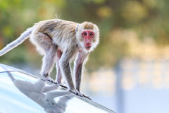 Monkey (Crab-eating macaque) climbing on car Royalty Free Stock Image