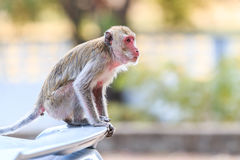 Monkey (Crab-eating macaque) climbing on car Stock Images