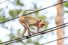 Monkey (Crab-eating macaque) climbing on power cable Royalty Free Stock Images
