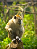 Monkey (crab-eating macaque) Stock Photo