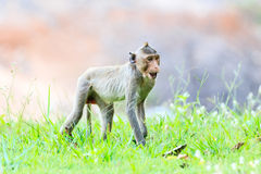 Monkey (Crab-eating macaque) on green grass Stock Photos