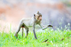 Monkey (Crab-eating macaque) on green grass Royalty Free Stock Images