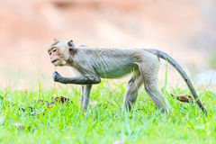 Monkey (Crab-eating macaque) on green grass Royalty Free Stock Photo