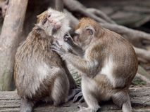 A monkey (crab eating macaque) grooming. Royalty Free Stock Photos