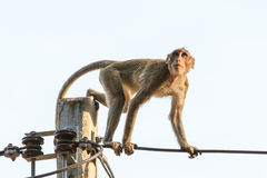 Monkey (Crab-eating macaque) on power cable Royalty Free Stock Images
