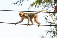 Monkey (Crab-eating macaque) on power cable Stock Photo