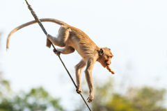 Monkey (Crab-eating macaque) on power cable Royalty Free Stock Photos