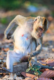 Monkey (Crab-eating macaque) relaxing on the stone Royalty Free Stock Image