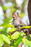 Monkey (Crab-eating macaque) screaming on tree Stock Photography