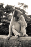 Monkey. Crab-eating macaque sitting on the bridge stock photo