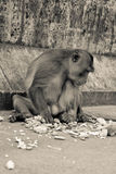 Monkey. Crab-eating macaque sitting on the bridge stock images