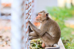 Monkey (Crab-eating macaque) sitting on floor Stock Photography