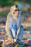 Monkey (Crab-eating macaque) sitting on the stone Royalty Free Stock Photo