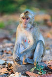 Monkey (Crab-eating macaque) sitting on the stone Royalty Free Stock Photography