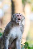 Monkey (Crab-eating macaque) Stock Photos