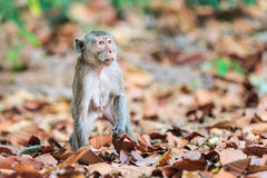 Monkey (Crab-eating macaque) Royalty Free Stock Photo