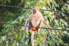 Monkey (Crab-eating macaque) Stock Photography