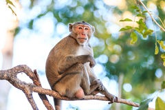 Monkey (Crab-eating macaque) on tree Royalty Free Stock Photo