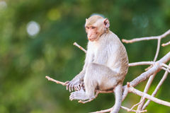 Monkey (Crab-eating macaque) on tree Stock Images