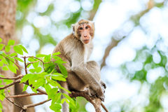 Monkey (Crab-eating macaque) on tree Stock Photos