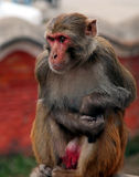 Monkey cries. Old monkey sits and cries near the temple. Nepal Stock Photography