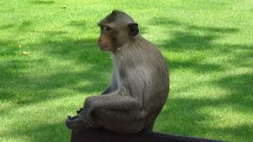 The monkey sits on a bench and looks closely royalty free stock photo