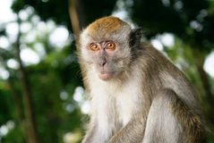 Monkey crouching in forest Royalty Free Stock Photography