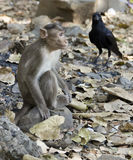 Monkey and a crow Stock Images