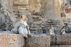 Monkey crowd was defending a danger to others.  royalty free stock photography