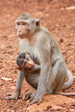 Monkey with cub Royalty Free Stock Photography
