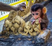monkey cub eating golden wall while mother is watching royalty free stock photography