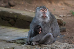 Monkey with cub Stock Images