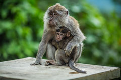 Monkey with a cub Royalty Free Stock Images