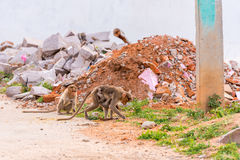 Monkey with cub, Puttaparthi, Andhra Pradesh, India. Copy space for text. Monkey with cub, Puttaparthi, Andhra Pradesh, India. Copy space for text Royalty Free Stock Photo