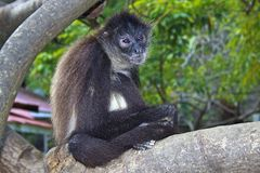 Monkey in cultural village in Honduras Royalty Free Stock Photography