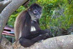Monkey in cultural village in Honduras. Monkey sitting on a tree in Roatan island, Honduras Royalty Free Stock Photography