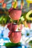 Monkey cups Stock Image