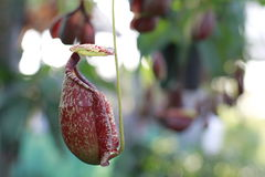 Monkey cups. Tropical pitcher plants or monkey cups stock photo