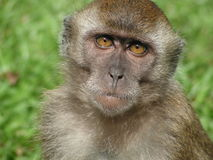 Monkey curious expression. Curious long tail macaque is a type of monkey in singapore forests Stock Photography