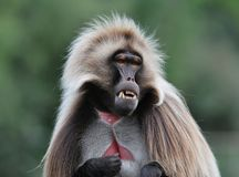 Monkey curious look. Animal  nature mother danger protecting protct  parenty  eyes looking canines Royalty Free Stock Image